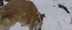 Physically disable dog running in snow Stock Footage