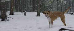 Physically disabled dog standing in snow Stock Footage
