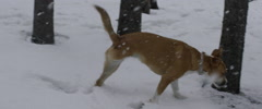 Physically disabled dog limping in snow Stock Footage