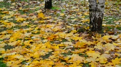 Many Wet yellow maple leaf lying under the trees in autumn Stock Footage