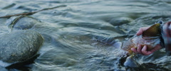 Fisherman leaving trout in river Stock Footage