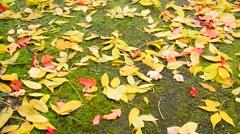 Wet fall maple leaf lying on ground covered with moss Stock Footage