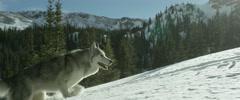 Husky walking in snow Stock Footage
