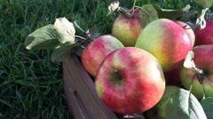 Freshly pickled apples in garden Stock Footage