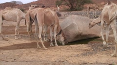 Dromedar dringking water in waterhole in Oasis in the afternoon in the desert Stock Footage