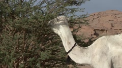 Dromedar eating on dry green thorny bush in Oasis in the afternoon Stock Footage