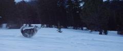 Husky dog running in snow Stock Footage