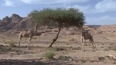 Dromedars eating on dry green tree in Oasis in the afternoon in the desert Stock Footage