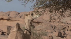 Dromedar eating on dry green tree in Oasis in the afternoon in the desert Stock Footage