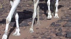 Dromedars walking on dry arid ground in stony desert of Hoggar Mountains Stock Footage