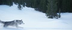 Husky dog running on mountain slope Stock Footage