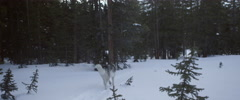 Husky dog walking on snow Stock Footage