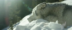 Husky dog relaxing on mountain slope Stock Footage