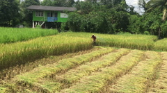 Farmer using lawn mower instead of sickle to harvest rice plants Stock Footage
