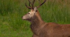 Red Deer Stag with muddy mane moves through meadow 2K Stock Footage