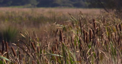 Bulrush (Reedmace, Cattail) reeds swaying in light breeze 2K Stock Footage