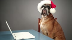 Boxer dog with Santa hat working on laptop. Stock Footage