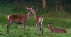 Three Deer in forest meadow 2K 100fps Stock Footage