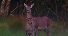 Red Deer and Fawn in Forest 2K 100fps Stock Footage