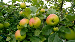 Apple tree branch with  fruits 4K Stock Footage