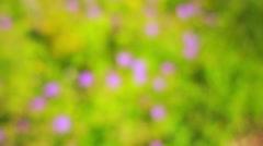 Geranium macrorrhizum Stock Footage