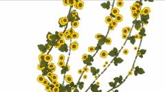 4k Growing spring daisy winter jasmine flower branches vegetation plant. Stock Footage