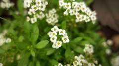 Alyssum in family Brassicaceae Stock Footage