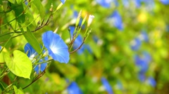 Ipomoea Heavenly Blue Stock Footage