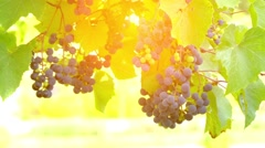 Grapes on vine, lit by sunlight Stock Footage