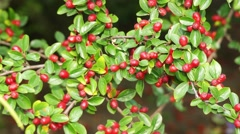 Cotoneaster in rose family Rosaceae Stock Footage