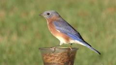 Male Bluebird on a Feeder Stock Footage