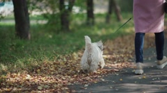 Woman with dog walk in the autumn park. West highland white terrier Stock Footage