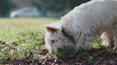 Dog digs nose in the fall foliage. Inquisitive and curious puppy Stock Footage