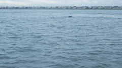 Dolphins Swimming and Surfacing Offshore Stock Footage