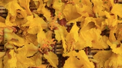 Yellow flowers in the carpet Stock Footage