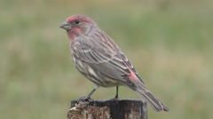 Male House Finch (Carpodacus mexicanus) Stock Footage
