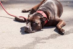 Chocolate brown Staffordshire terrier dog Kuvituskuvat
