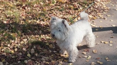 The dog stopped and looks into the distance. A dog of medium size Stock Footage