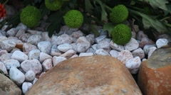 Blue chrysanthemums on rocks Stock Footage