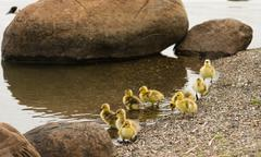 Wild Mother Goose stays close to offspring on Waterfront Stock Photos