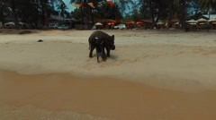 Flying over Elephant on Bang Tao beach. Phuket. Thailand. Aerial view. Stock Footage