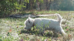 West highland white terrier looking for a bone in the fall foliage Stock Footage