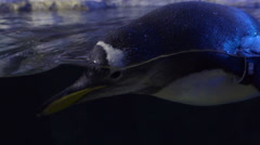 Closeup Of A Penguin Swimming Next To Glass In Indoor Exhibit Stock Footage