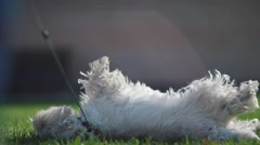 The dog sniffs the grass. Dog somersaults in the grass. Dog happiness Stock Footage