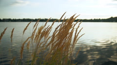 Dry golden grass in the background of a pond at sunset. Stock Footage
