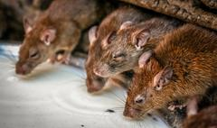Rats drinking milk Stock Photos