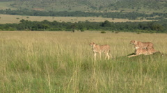 Cheetah family on a small hill looking alert for prey, tracking shot Stock Footage