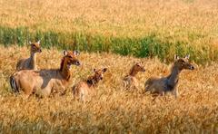 Herd of wild antelopes Stock Photos