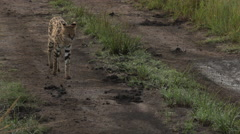 Serval (Leptailurus serval) male approaching camera Stock Footage