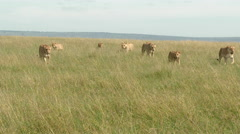 African Lion (Panthera leo) females walking towards camera Stock Footage